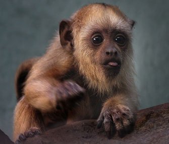 The National Zoo wants your help to name its adorable 3-month-old howler monkey.