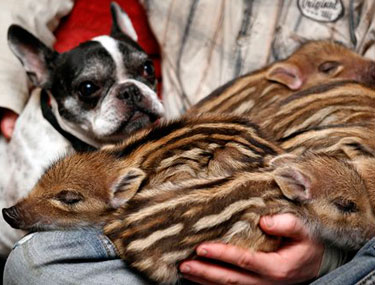 French Bulldog with wild boar piglets