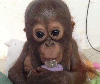 Budi's caretakers say he's growing stronger after being rescued from horrible conditions.