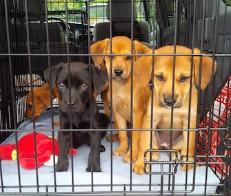 Beth Stevens transported these adorable puppies for the Virginia-based Lost Dog Rescue.