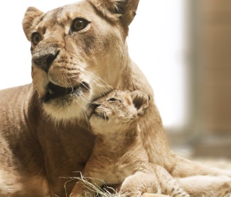 Kijani, an African lion cub whose name means warrior, cuddles with his mom.