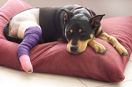 Dog with hurt leg