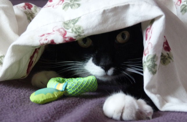 Cat hides in covers