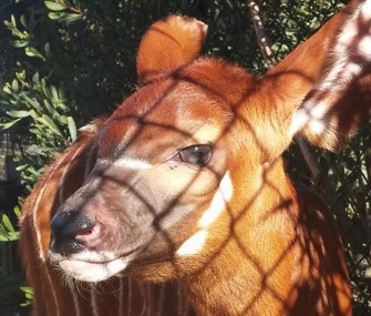 An extremely rare bongo calf born at the San Francisco Zoo during the World Series was named Pence after the Giants' Hunter Pence.