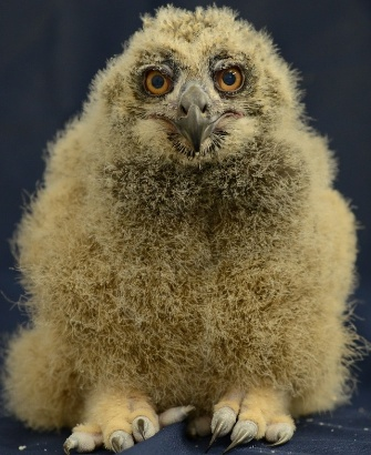 Eurasian eagle owl hatched at the National Aviary