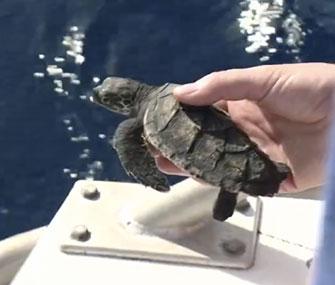 Hawksbill sea turtle released