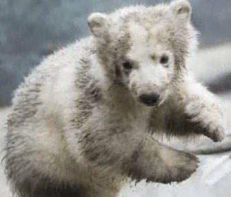 Toronto Zoo's polar bear cub