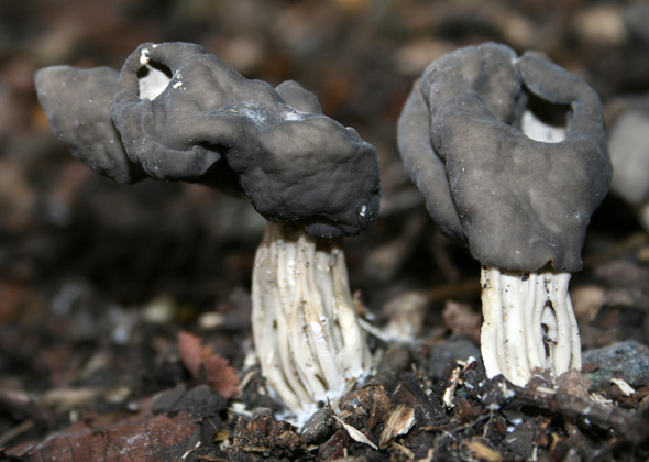 Backyard Mushrooms Dogs 5 common mushrooms poisonous to dogs and other pets - slideshow