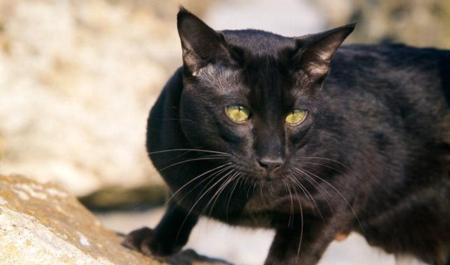 havana brown cat breed information