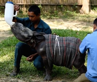 At less than 2 weeks old, an abandoned greater one-horned rhino is being nursed back to health in a park in India.