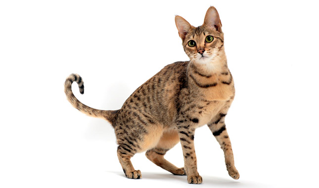 Savannah Cat Breed Information