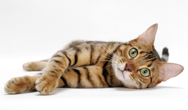 Bengal Cat on Side Looking at Camera