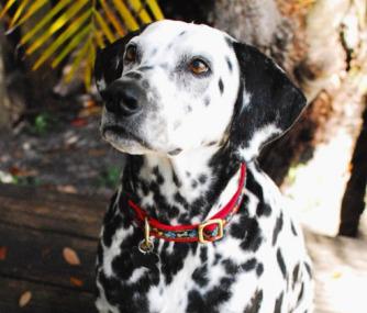Dorsey the Dalmatian