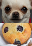 blueberry muffin or chihuahua is this a chihuahua or muffin 3019