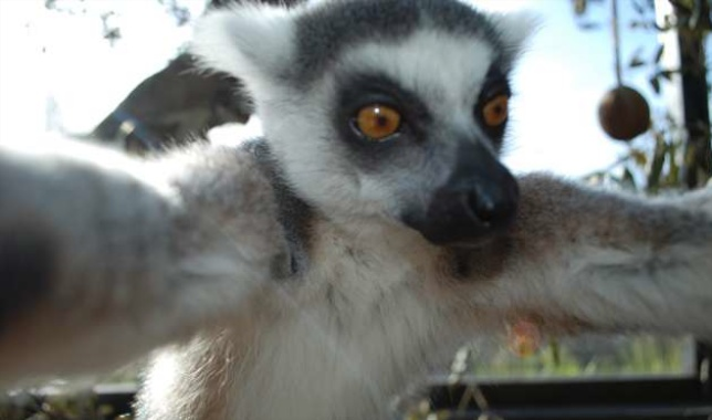 Bekily, a 12-year-old ring-tailed lemur, snaps a selfie at the London Zoo.
