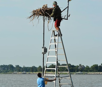 A two-man team helped free an osprey chick from a fishing line in her nest.
