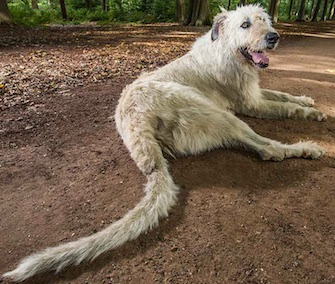 Keon the Irish Wolfhound was granted the title longest tail on a dog.