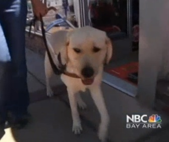 Guide dog in training O'Neil is being called a hero for alerting his trainers to an oncoming car.