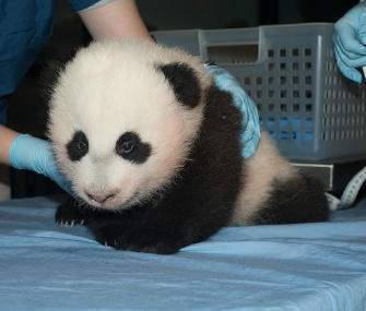 The National Zoo revealed on Sunday that its 100-day-old panda cub will be named Bao Bao.
