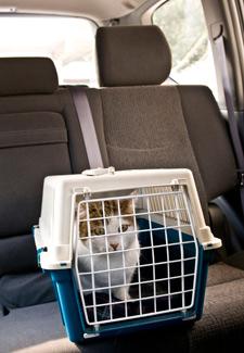 Cat riding in car