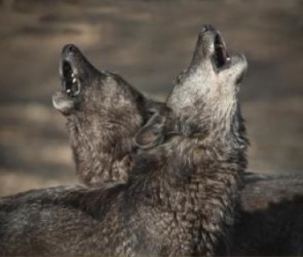 A study finds that wolves howl when their leader or a close packmate leave the pack.