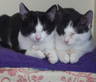 Fred and Ned, polydactyl cats