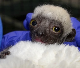 Lupicina, a Coquerel's Sifaka lemur, was born last month at the Duke Lemur Center.
