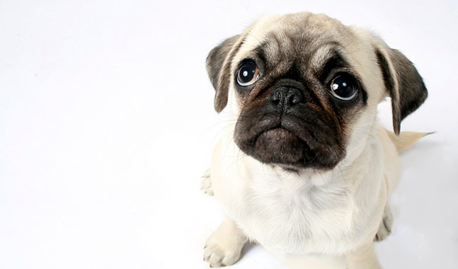 Pug Breed Information