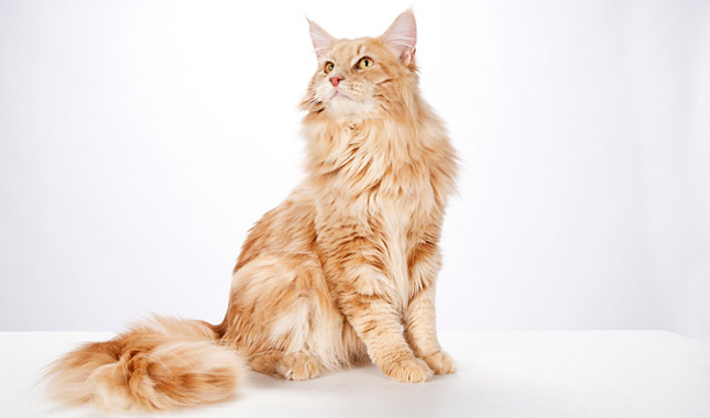 Maine coon pulling hair out