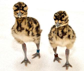 Kori bustard chicks at the National Zoo