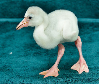 This flamingo chick hatched at the National Zoo on July 29.