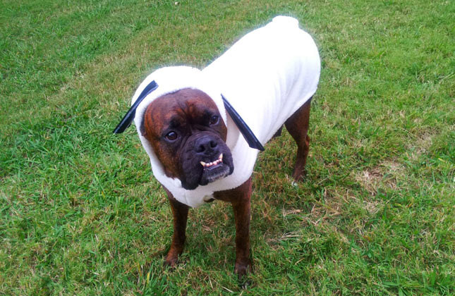 Boxer Dog in Sheep Costume