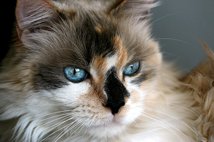 Are There Male Calico Cats