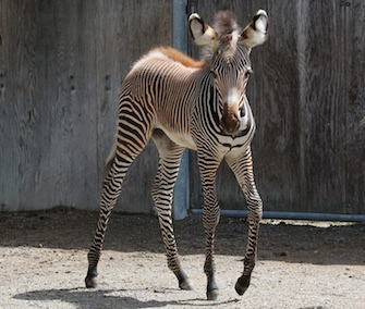 An endangered Grevy's zebra filly was born at the Toronto Zoo last month.