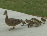 Duck family visits the White House
