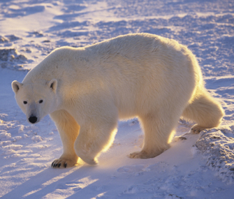 10 Interesting Facts About Polar Bears We Bet You Didn't Know