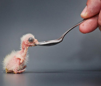 A newly hatched parrot chick gets spoon fed at Zoo Praha.