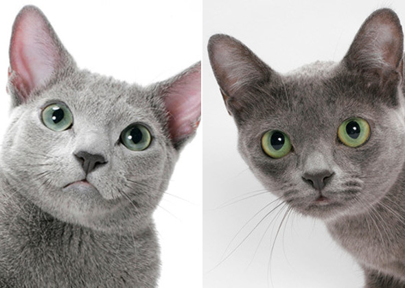 Russian Blue Cats Vs Dogs