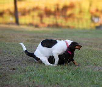 Dog humping a dog