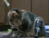 Cat with a prosthetic leg