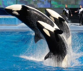 SeaWorld dropped its appeal of a ruling that keeps its trainers from swimming with killer whales during its shows.
