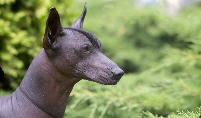 Xoloitzcuintli Dog Breed Information