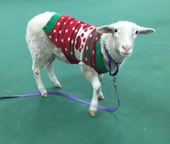 Photos of a sheep found in Omaha wearing a Christmas sweater went viral, and helped reunite Gage with his owner.