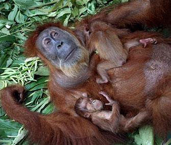 A file photo shows Gober the orangutan with her babies.