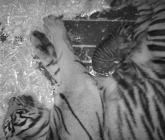 Mom Leanne snuggles with her newborn cub at the San Francisco Zoo.