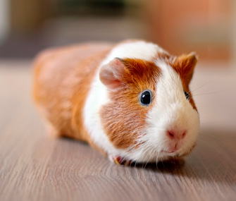 Guinea Pig Facts That May Surprise You