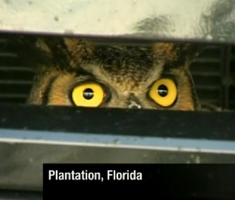 Authorities in Florida freed this Great Horned Owl from the grille of an SUV on Friday.