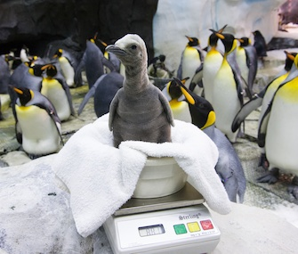 This king penguin chick hatched at SeaWorld Orlando on Nov. 30.
