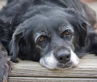 Black senior dog resting head