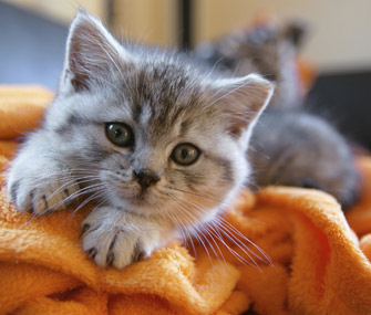 Kitten on a blanket